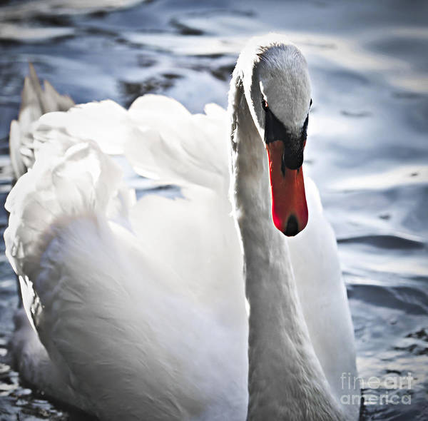 Swan Print featuring the photograph White Swan by Elena Elisseeva