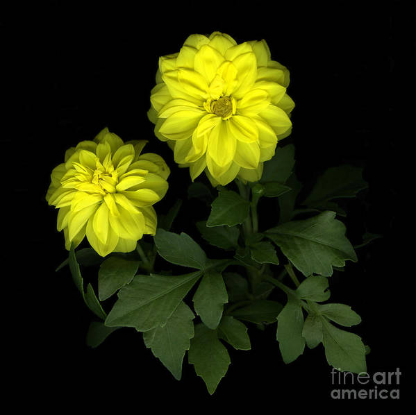 Yellow Print featuring the photograph Dahlia by Christian Slanec