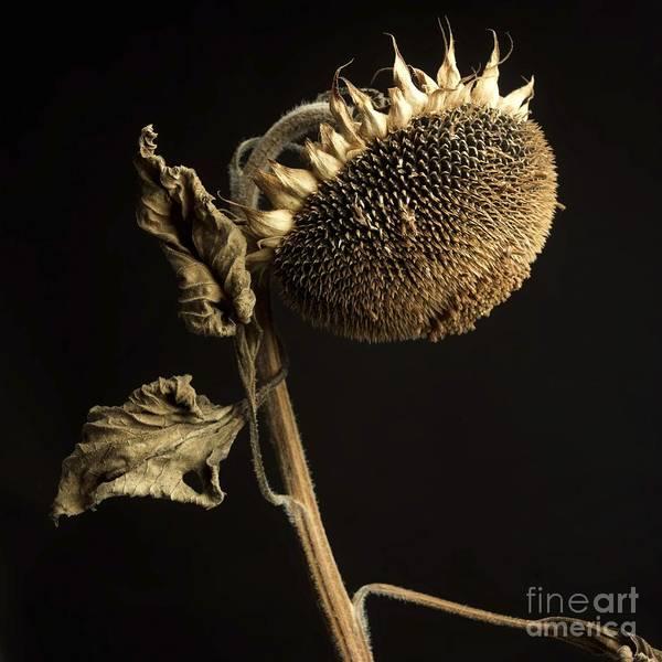Studio Shot Print featuring the photograph Sunflower by Bernard Jaubert