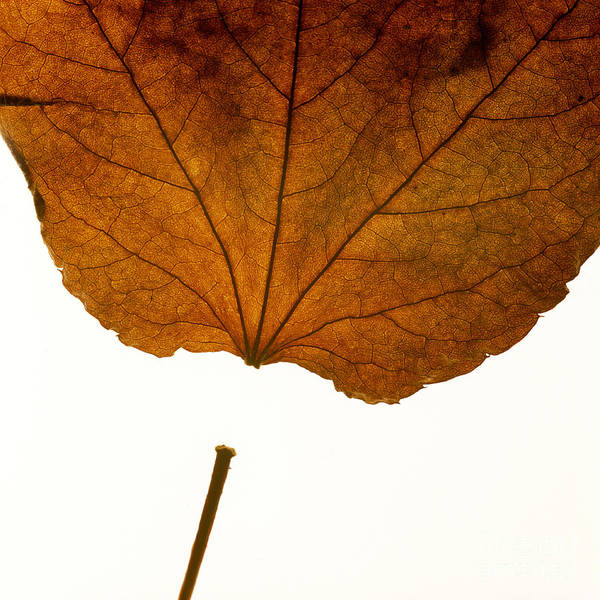 Studio Shot Print featuring the photograph Leaf by Bernard Jaubert