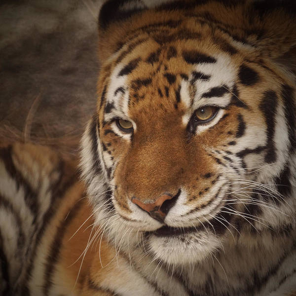Tiger Print featuring the photograph Amur Tiger 4 by Ernie Echols
