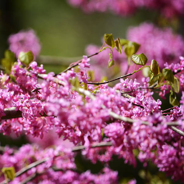 Blooming Redbud Tree Print featuring the photograph Blooming Redbud Tree Cercis Canadensis by Rebecca Sherman