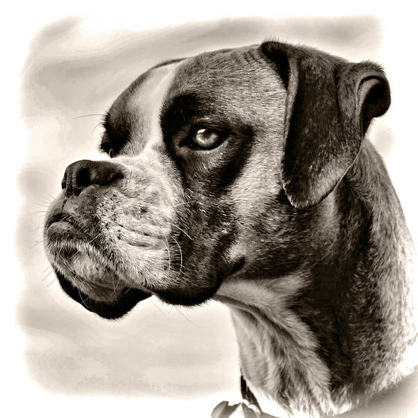 Adorable Print featuring the photograph Boxer Profile by Lana Trussell