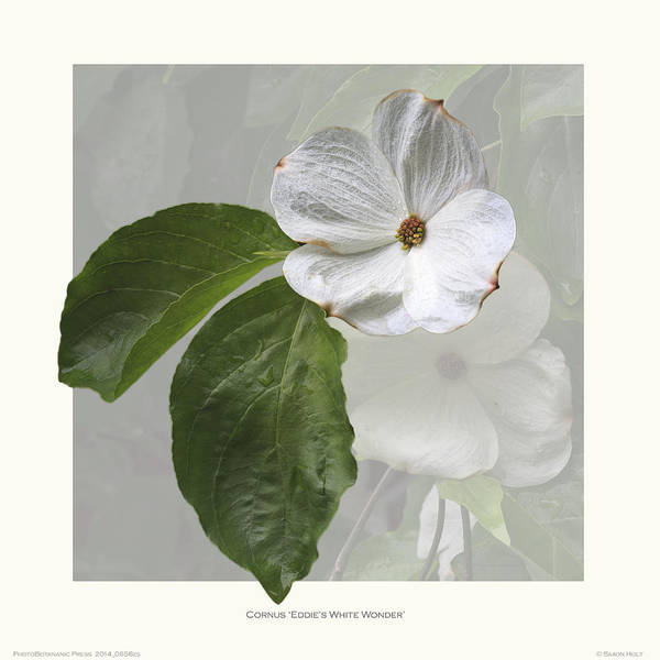 Botanic Illustration Print featuring the photograph Cornus 'eddie's White Wonder' by Saxon Holt
