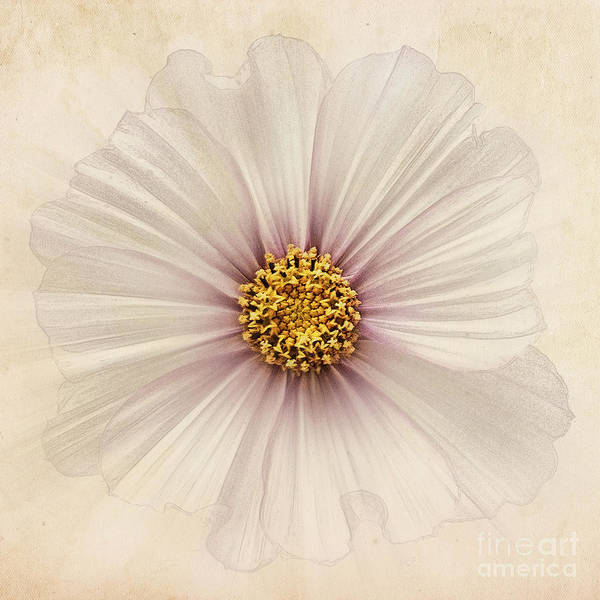 Cosmos Bipinnatus Print featuring the photograph Evanescent by John Edwards