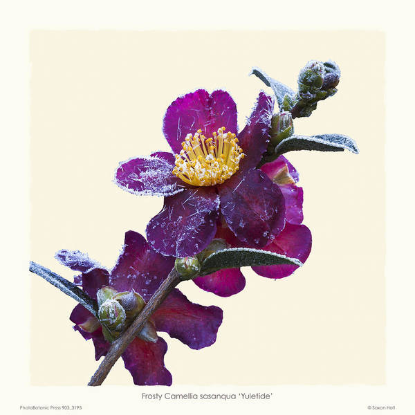 Frost Print featuring the photograph Frost On Camellia Sasanqua 'yuletide' by Saxon Holt