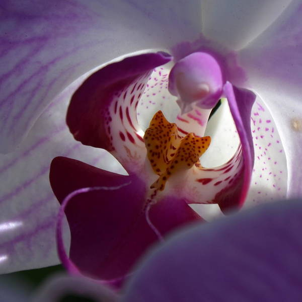 Orchid Print featuring the photograph Lavendar World by AnnaJo Vahle