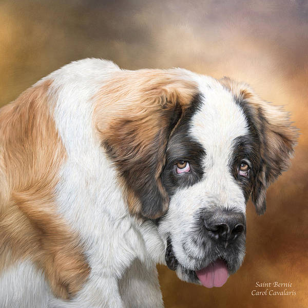 Saint Bernard Portrait Print featuring the mixed media Saint Bernie by Carol Cavalaris