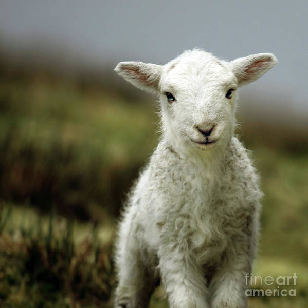 Wales Print featuring the photograph The Lamb by Angel Tarantella