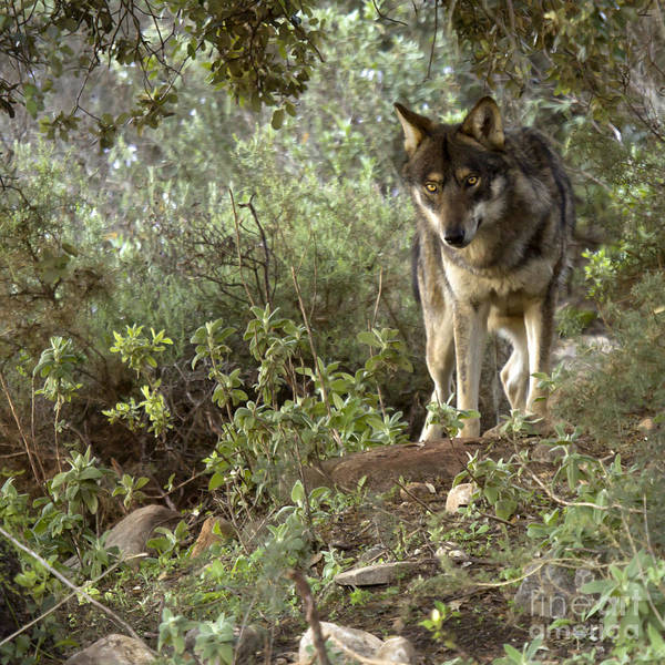 Lobo Park Print featuring the photograph Timber Wolf by Angel Tarantella