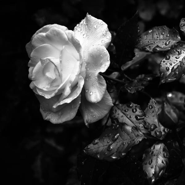 Rose Print featuring the photograph White Rose Full Bloom by Darryl Dalton