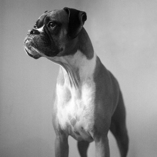Boxer Print featuring the photograph Boxer Dog by Stephanie McDowell