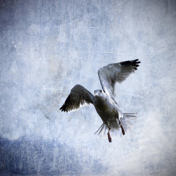 Gull Print featuring the photograph Hovering Seagull by Carol Leigh
