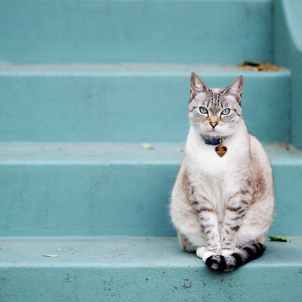 Square Print featuring the photograph Kitty On Blue Steps by Lauren Rosenbaum