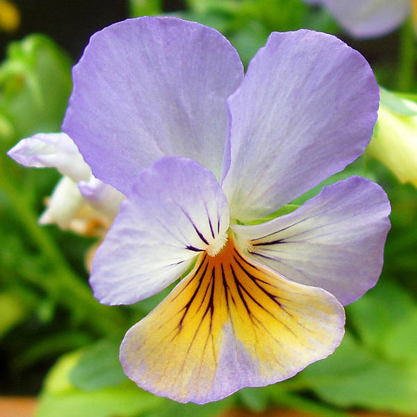 Pansy Print featuring the photograph Lavender Pansy by Nancy Mueller