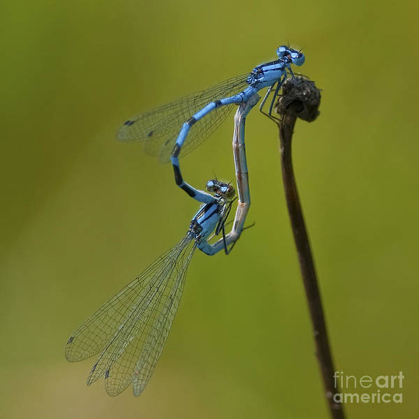 Damselflies Print featuring the photograph Love Dance.. by Nina Stavlund