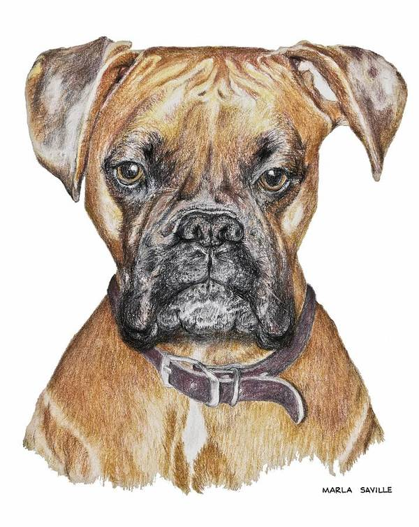 Dog Paintings Print featuring the painting Sweet Boxer by Marla Saville
