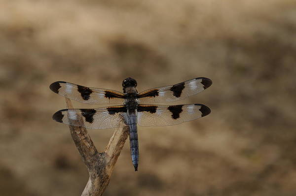 Dragonfly Print featuring the photograph 12 Spotted Skimmer by Dick Todd