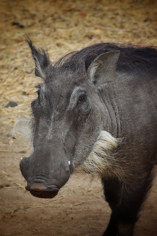 Boar Print featuring the photograph African Boar by Dave Hall