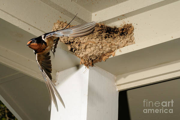 Barn Swallow Print featuring the photograph Barn Swallow by Scott Linstead