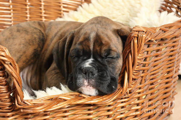 Nature Print featuring the photograph Boxer Puppy by Mark Taylor