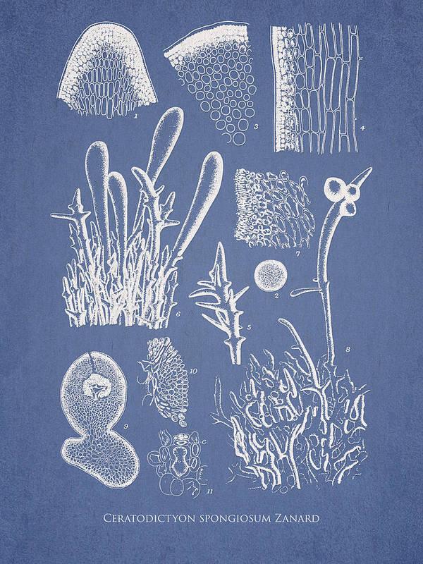Algae Print featuring the drawing Ceratodictyon Spongiosum Zanard by Aged Pixel