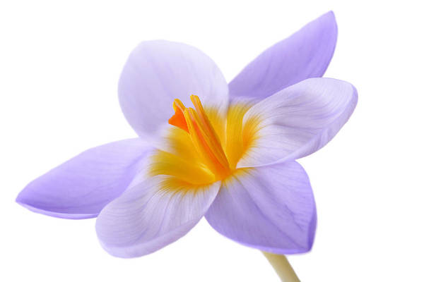 Beautiful Print featuring the photograph Crocus by Mark Johnson