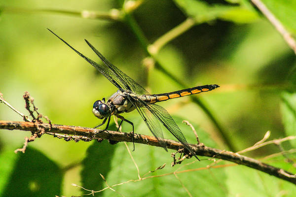 Dragonflies Print featuring the photograph Dragonfly by Steven Taylor