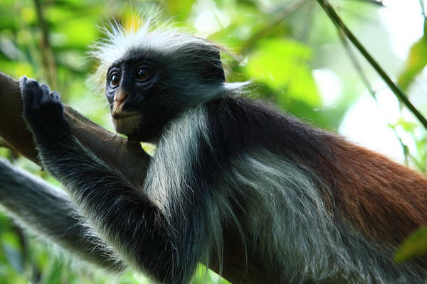 Red Colobus Monkey Print featuring the photograph Red Colobus Monkey by Aidan Moran