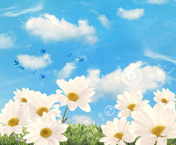 Daisy Print featuring the photograph Summer Daisies by Amanda And Christopher Elwell