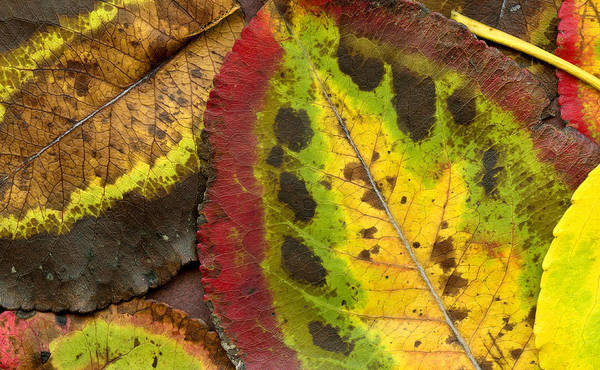 Leaf Print featuring the photograph Turning Leaves by Stephen Anderson