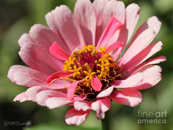 Mccombie Print featuring the photograph Zinnia From The Whirlygig Mix by J McCombie