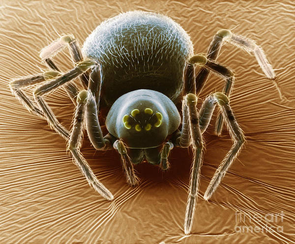 Dictynid Spider Print featuring the photograph Dictynid Spider by David M. Phillips