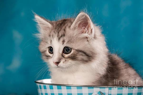 Cat Print featuring the photograph Sibirian Cat Kitten by Doreen Zorn