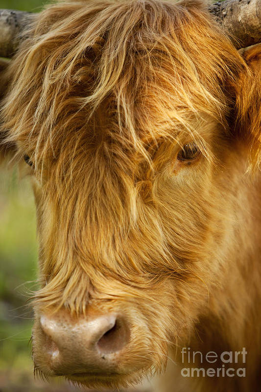 Scottish Print featuring the photograph Highland Cow by Brian Jannsen
