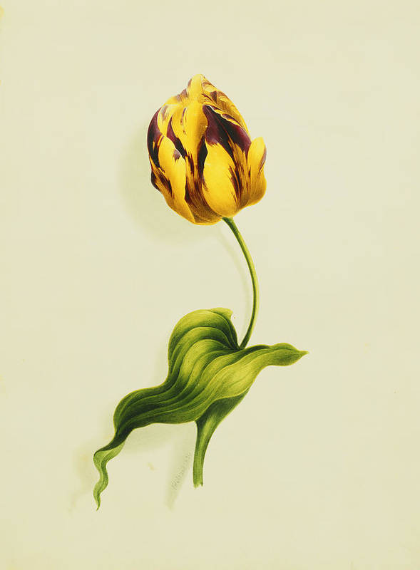 Biology Print featuring the painting A Parrot Tulip by James Holland