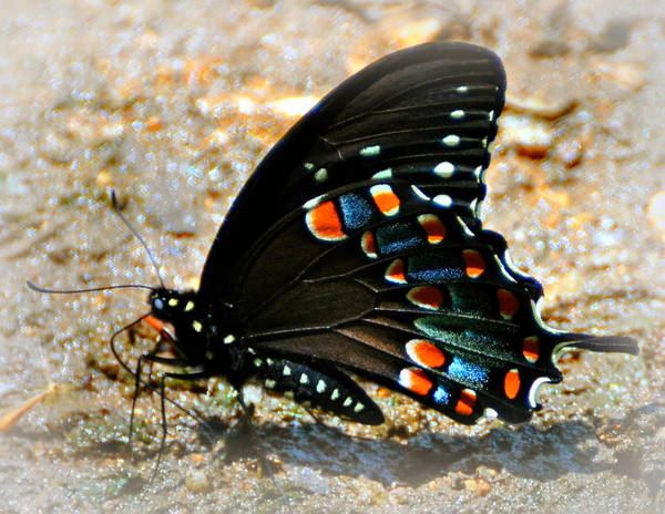 Butterfly Print featuring the photograph A Real Beauty by Marty Koch