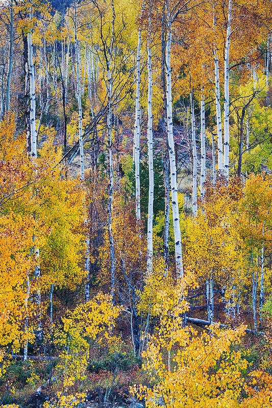 Autumn Print featuring the photograph Aspen Tree Magic Cottonwood Pass by James BO Insogna