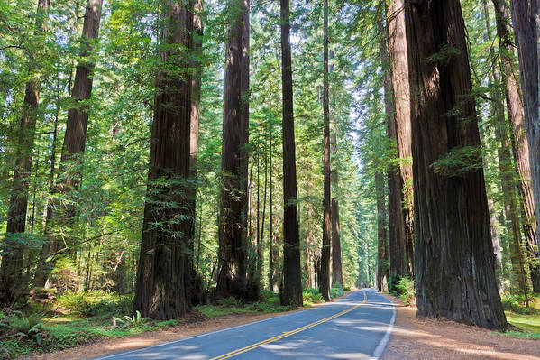 California Print featuring the photograph Avenue Of The Giants by Heidi Smith