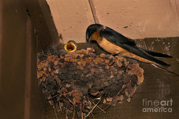 Barn Swallow Print featuring the photograph Barn Swallow by Ron Sanford