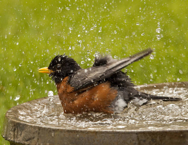 Robin Print featuring the photograph Bathing Robin by Inge Riis McDonald