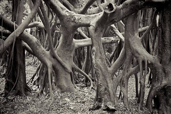 Tree Print featuring the photograph Baynan Roots by Rudy Umans