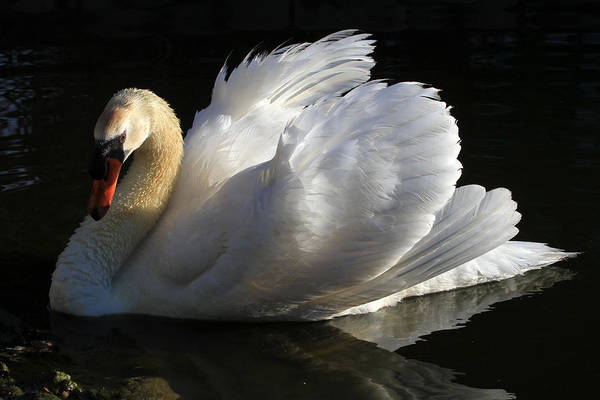 Swan Print featuring the photograph Beautiful Display by Donna Kennedy