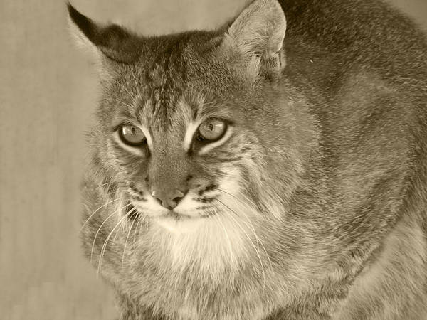 Bobcats Print featuring the photograph Blue Eyed Bobcat-sepia by Jennifer King