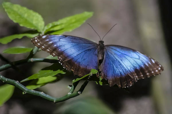 Blue Morph Butterfly Print featuring the photograph Blue Morph Butterfly by Sven Brogren