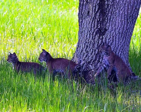 Bobcat Print featuring the photograph Bobcat Cubs by Diana Berkofsky