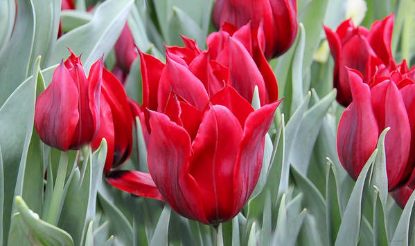 Tulip Print featuring the photograph Brilliant Red Tulips In The Garden by Jennie Marie Schell