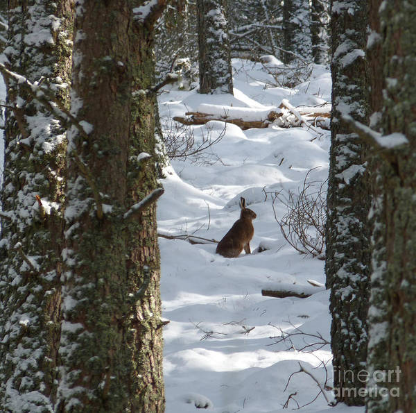 Brown Hare Print featuring the photograph Brown Hare - Snow Wood by Phil Banks