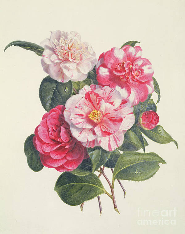 Flower Print featuring the painting Camelias by Augusta Innes Withers