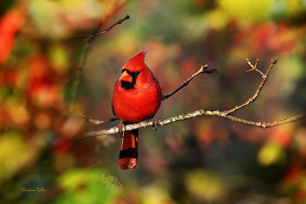 Bird Print featuring the photograph Cardinal Territory by Christina Rollo